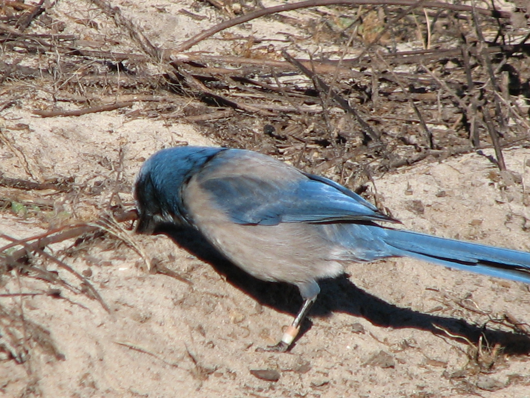 A banded Florida scrub-jay caching acorns in the sand to save for later. They can bury up to 5,000 acorns or more per bird each fall and then live off their stores all winter.