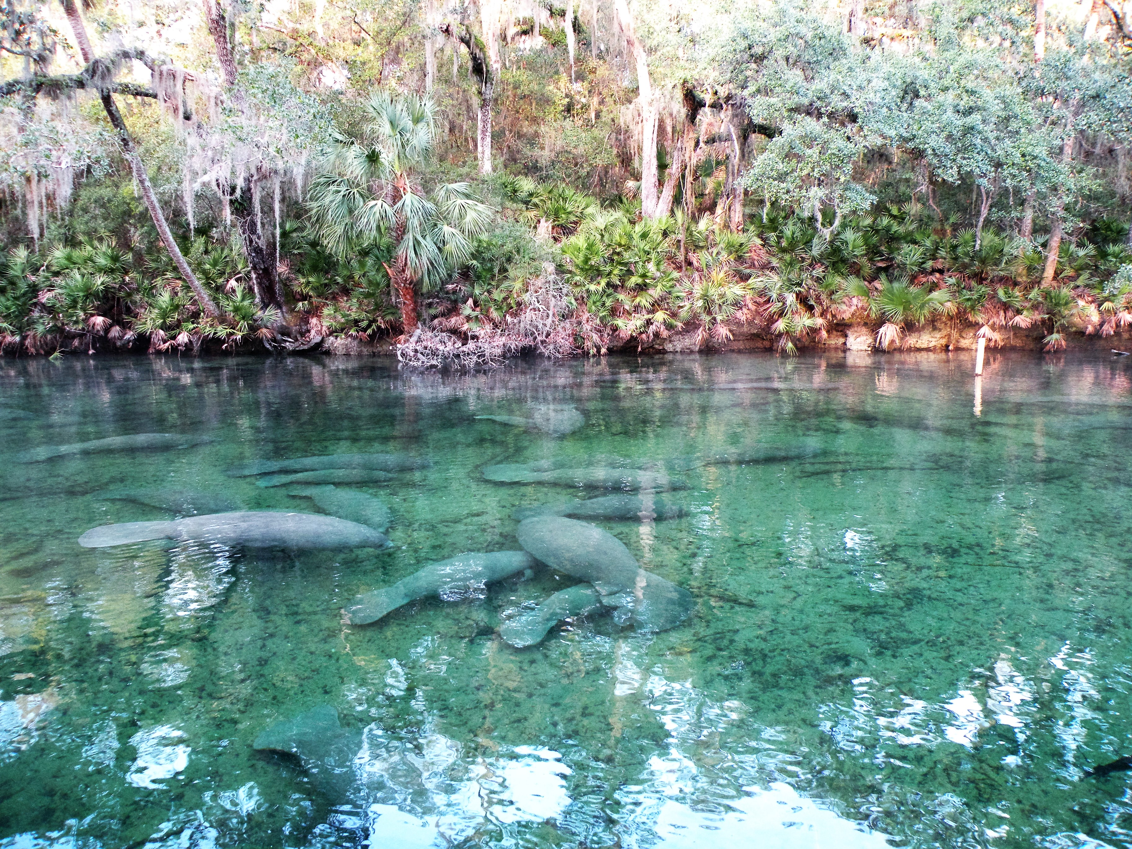 Manatees at Blue Spring State Park | Florida State Parks