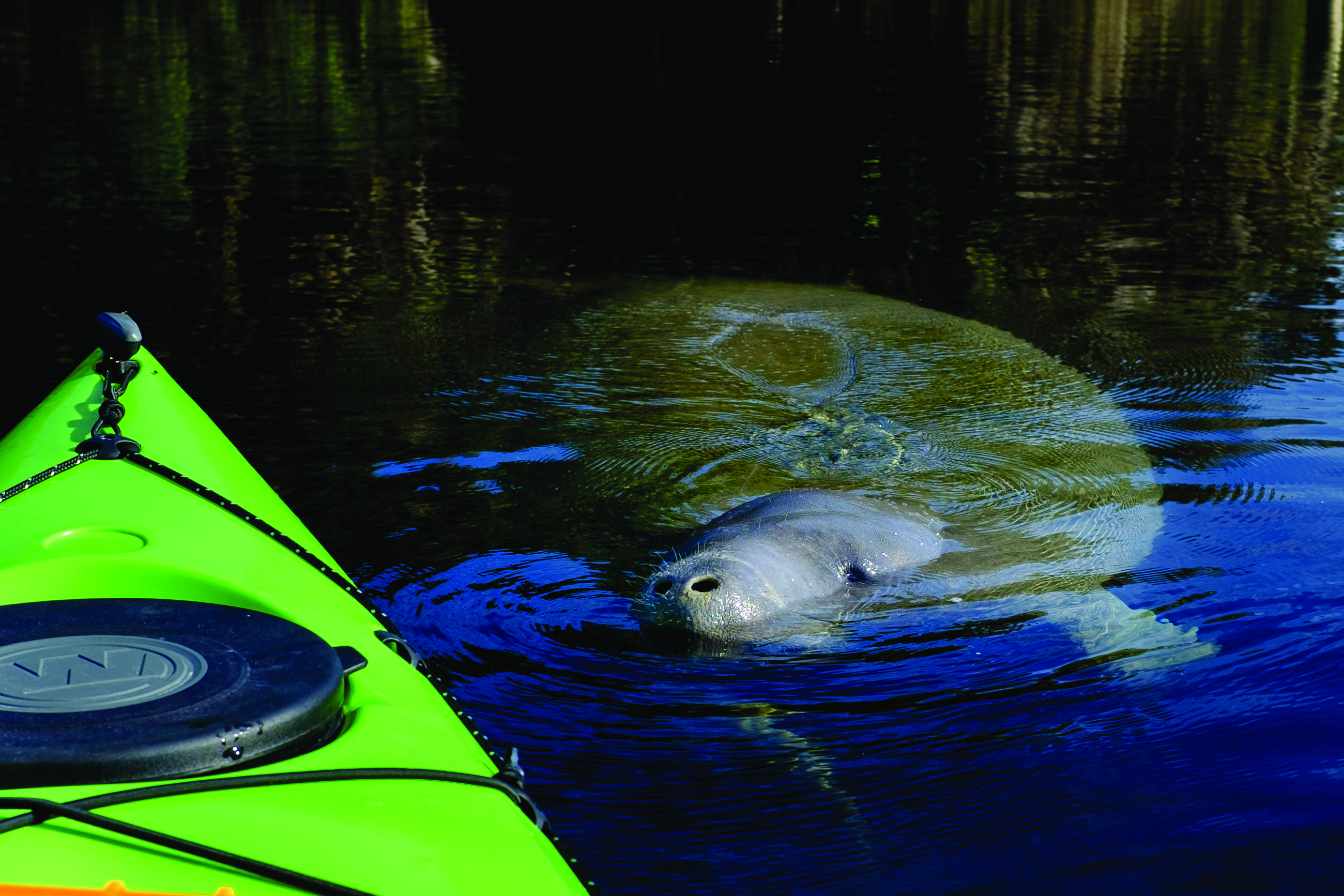 Manatee Swimming close to Kayak