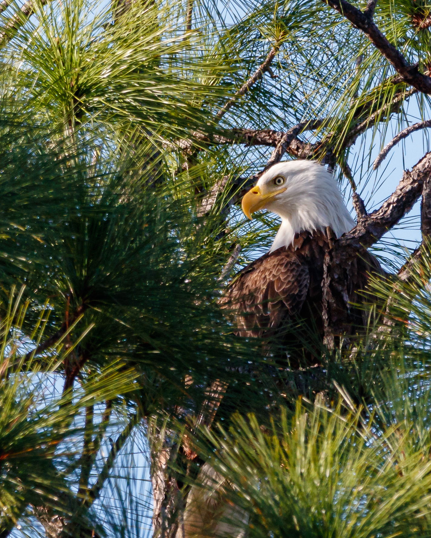 A bald eagle perches in a pine tree at Estero Bay Preserve State Park. Photo by Nate Arnold.