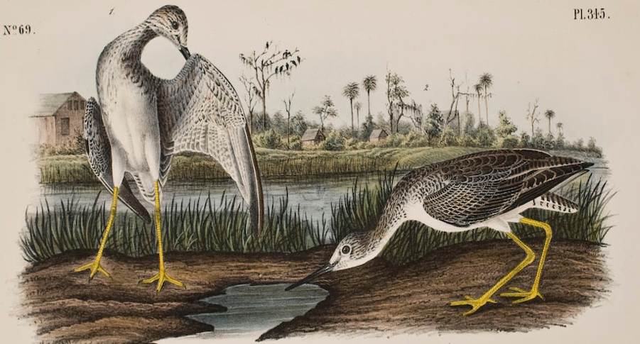 Audubon's painting of Tell-taled Godwit at Bulow Ville
