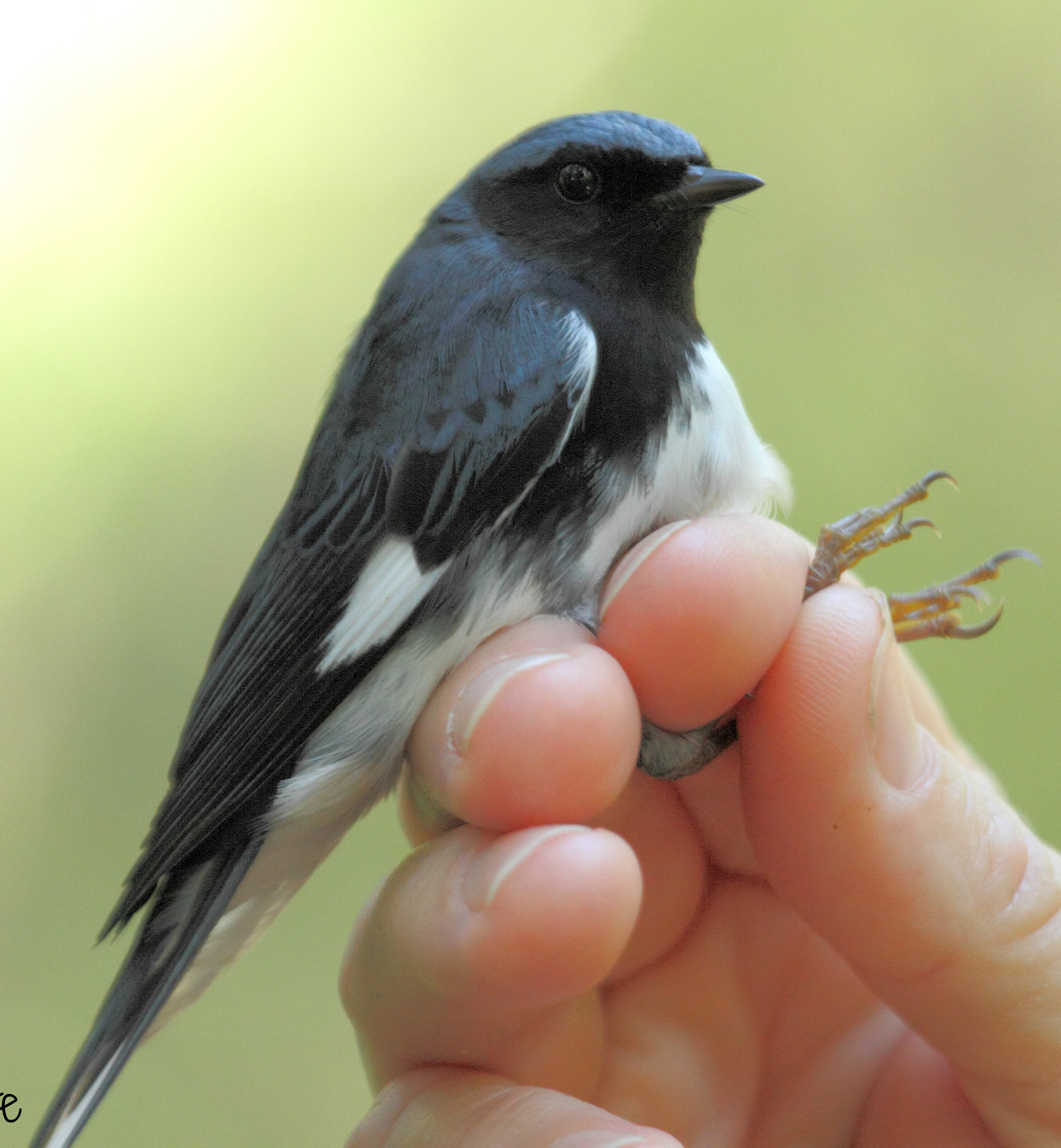 A black-throated blue warbler (Setophaga caerulescens) captured at the park before being banded.