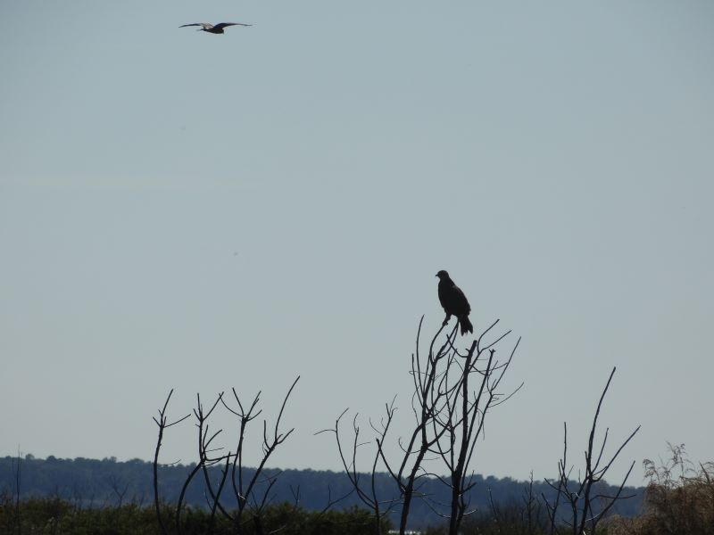 a snail kite perches in a tree while another flys low over a prairie landscape