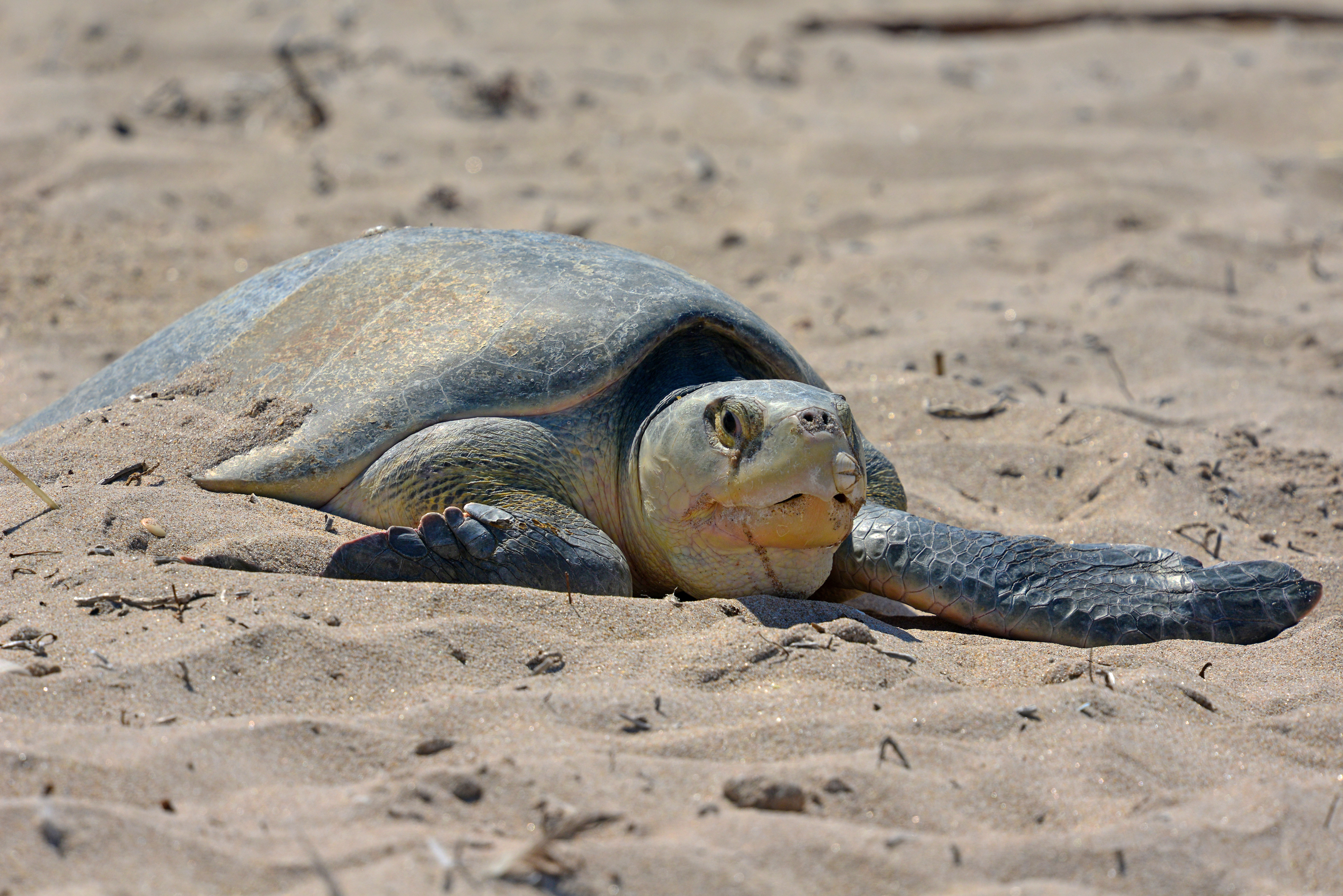 A nesting sea turtle rests on the beach