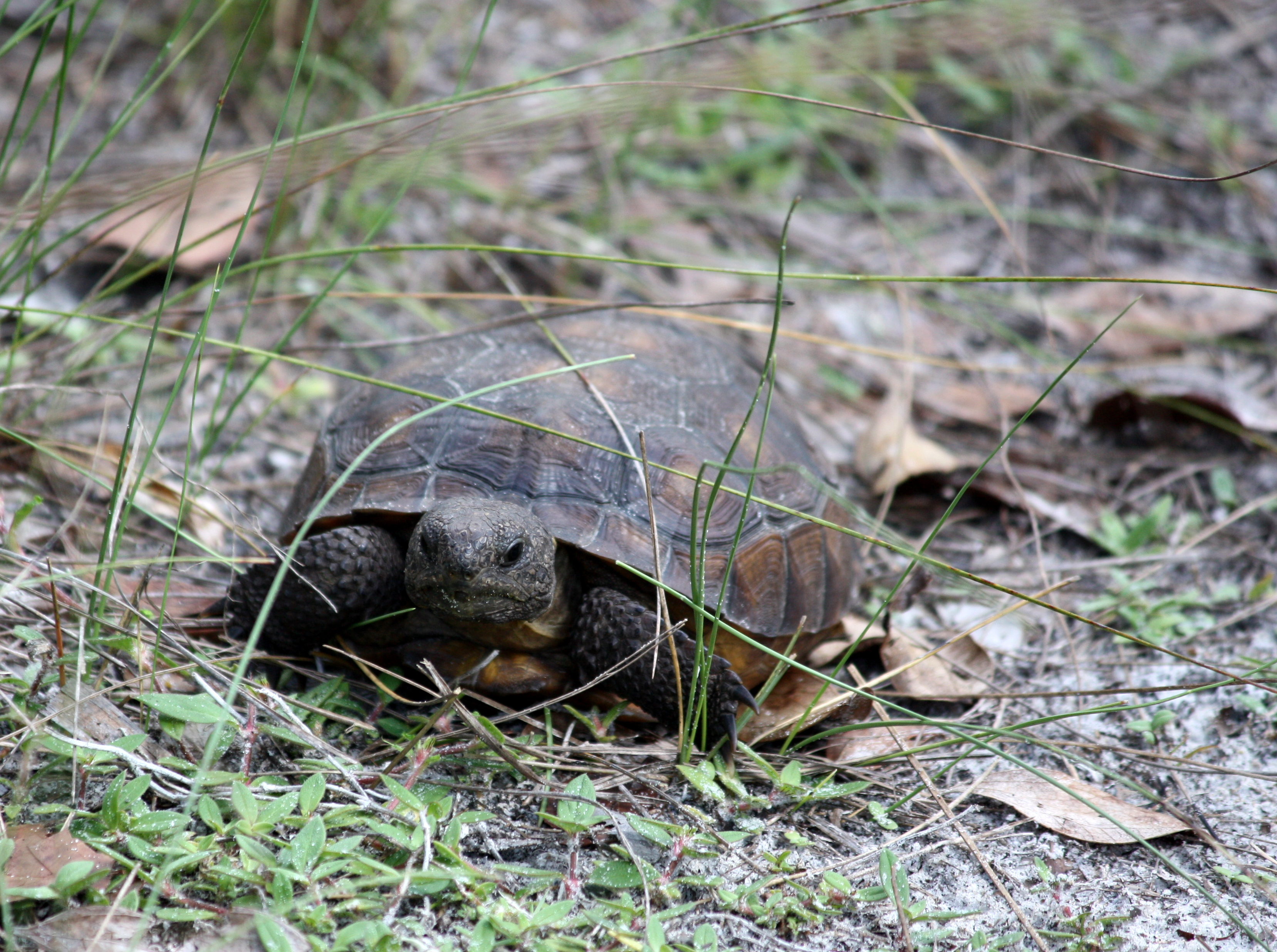 A gopher tortoise forages for food.