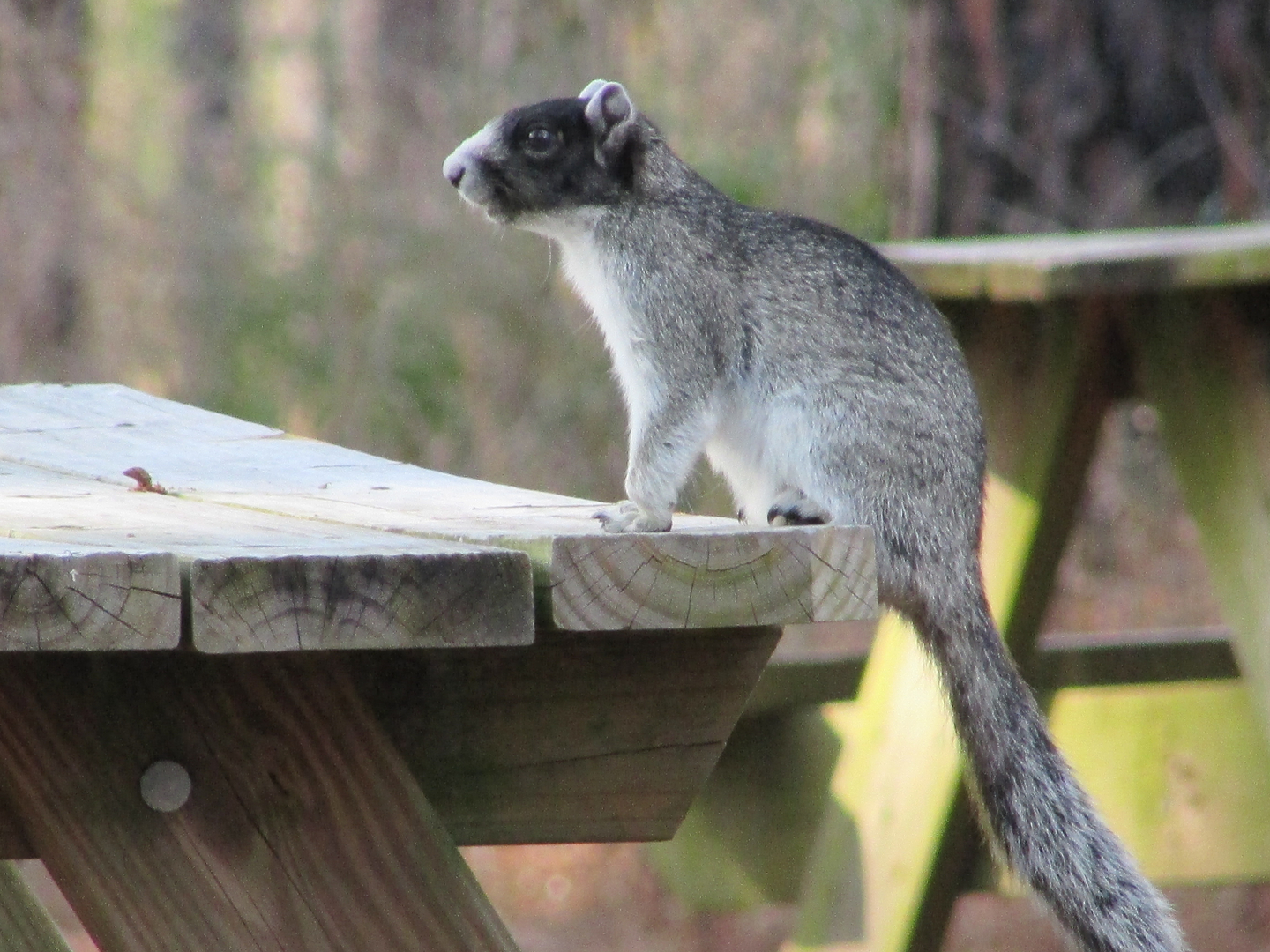Fox Squirrel on Picnic Table