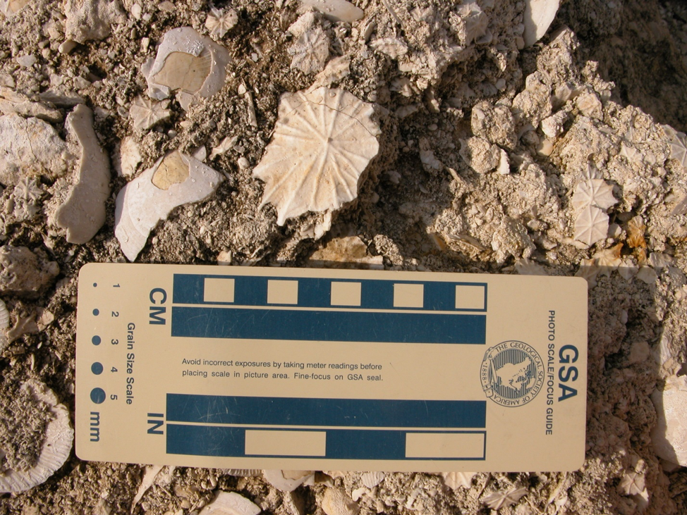 Fossil mollusks and foraminifera found in the limestone exposed in the Florida Caverns State Park