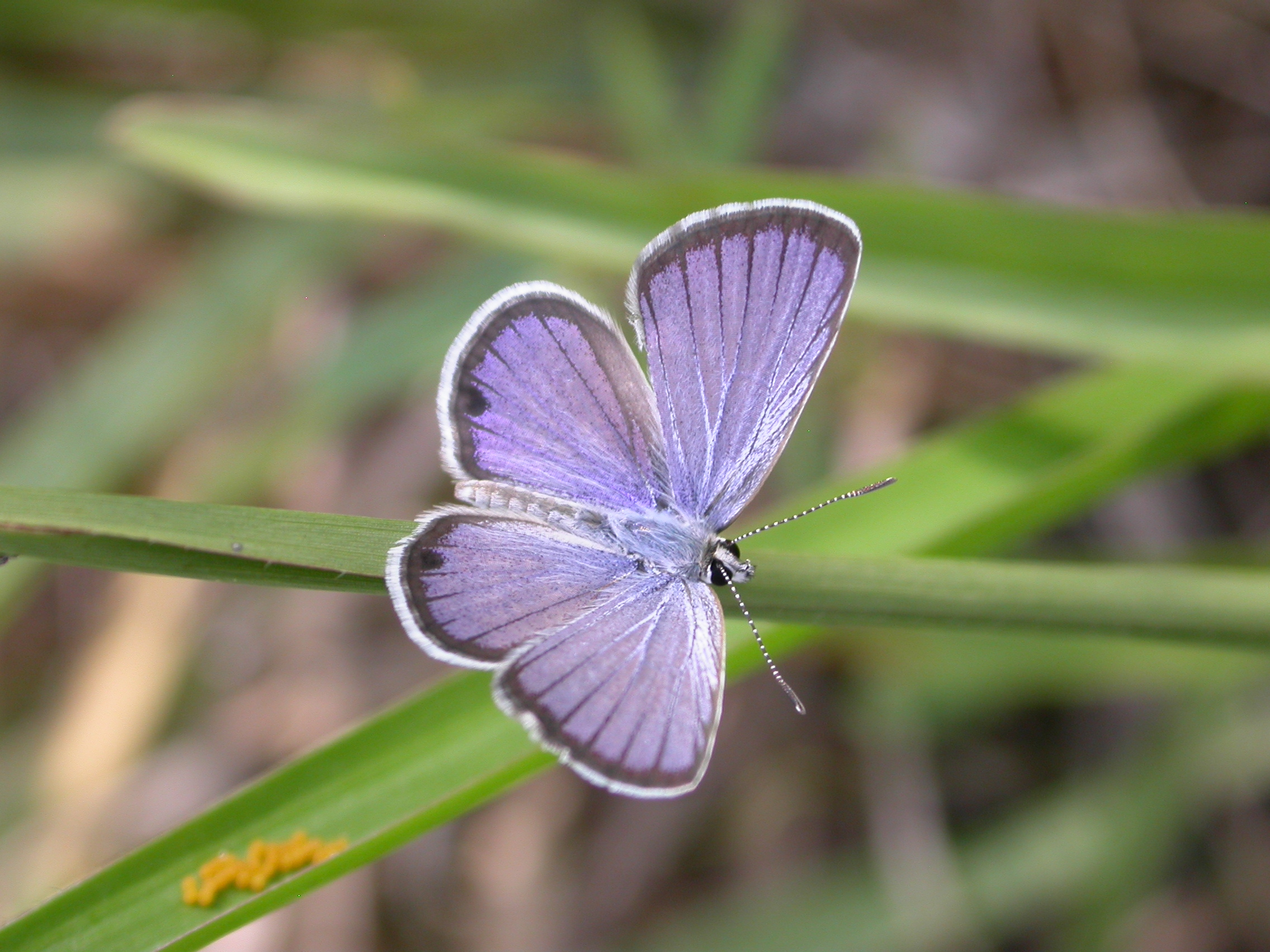 Ceraunus blue (Hemiargus ceraunus) are commonly seen in sunny habitats, including roadsides, scrubs and open grassy woodlands.