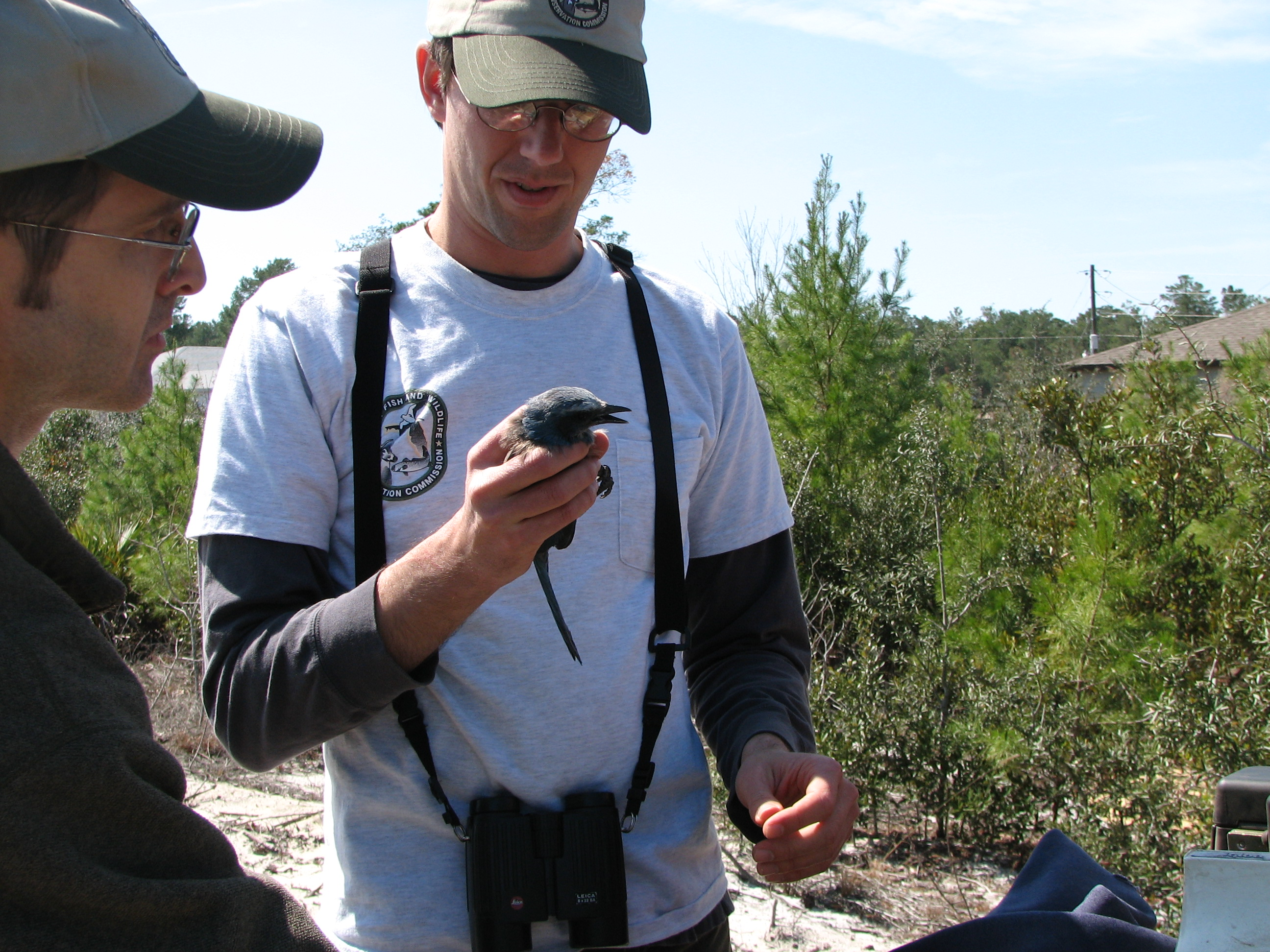 Craig Faulhaber with the Florida Fish and Wildlife Conservation Commission holds a Florida scrub-jay during the banding process.