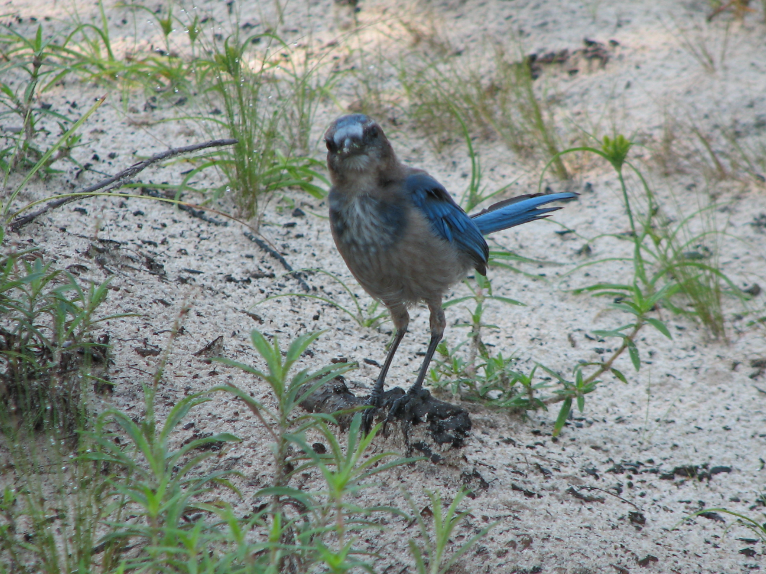 A curious Florida scrub-jay watches as we take its photograph.
