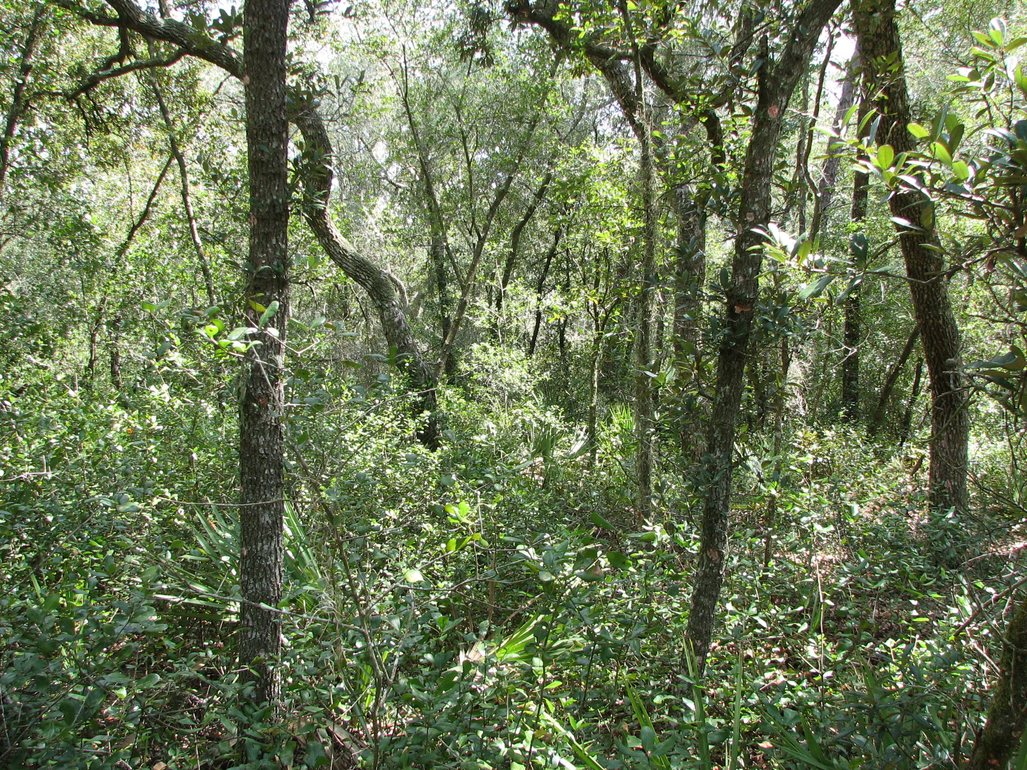 Dense, tall scrub oaks with thick understory before restoration of the property.