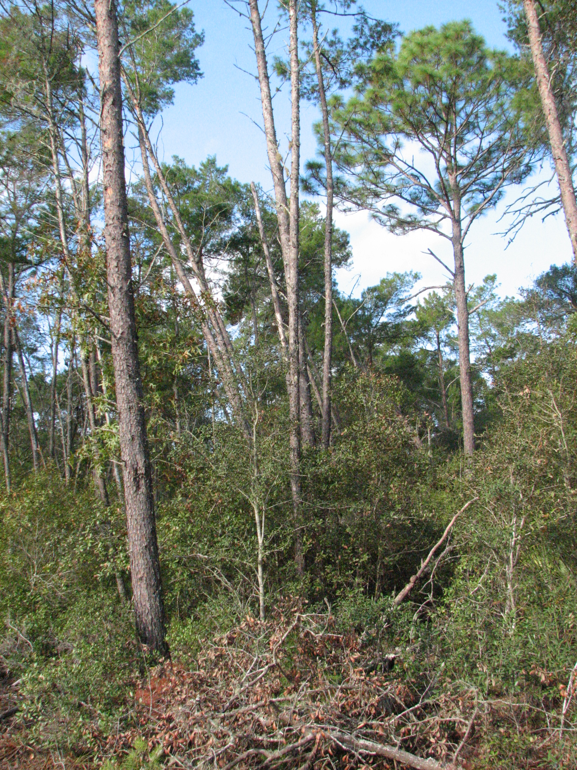 Dense, tall sand pines form a canopy before restoration of the property.