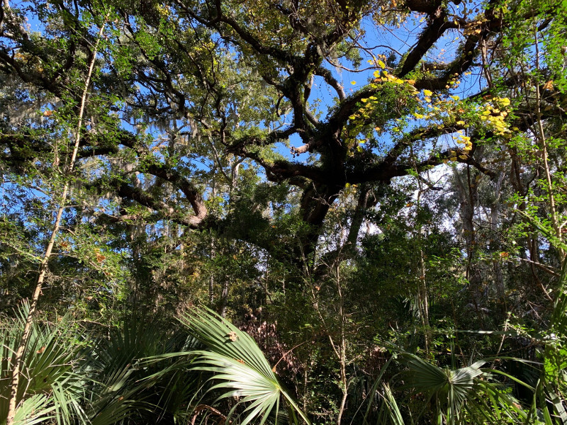 a large oak tree with aerial ferns on the branches, surrounded around the base by saw palmettos.