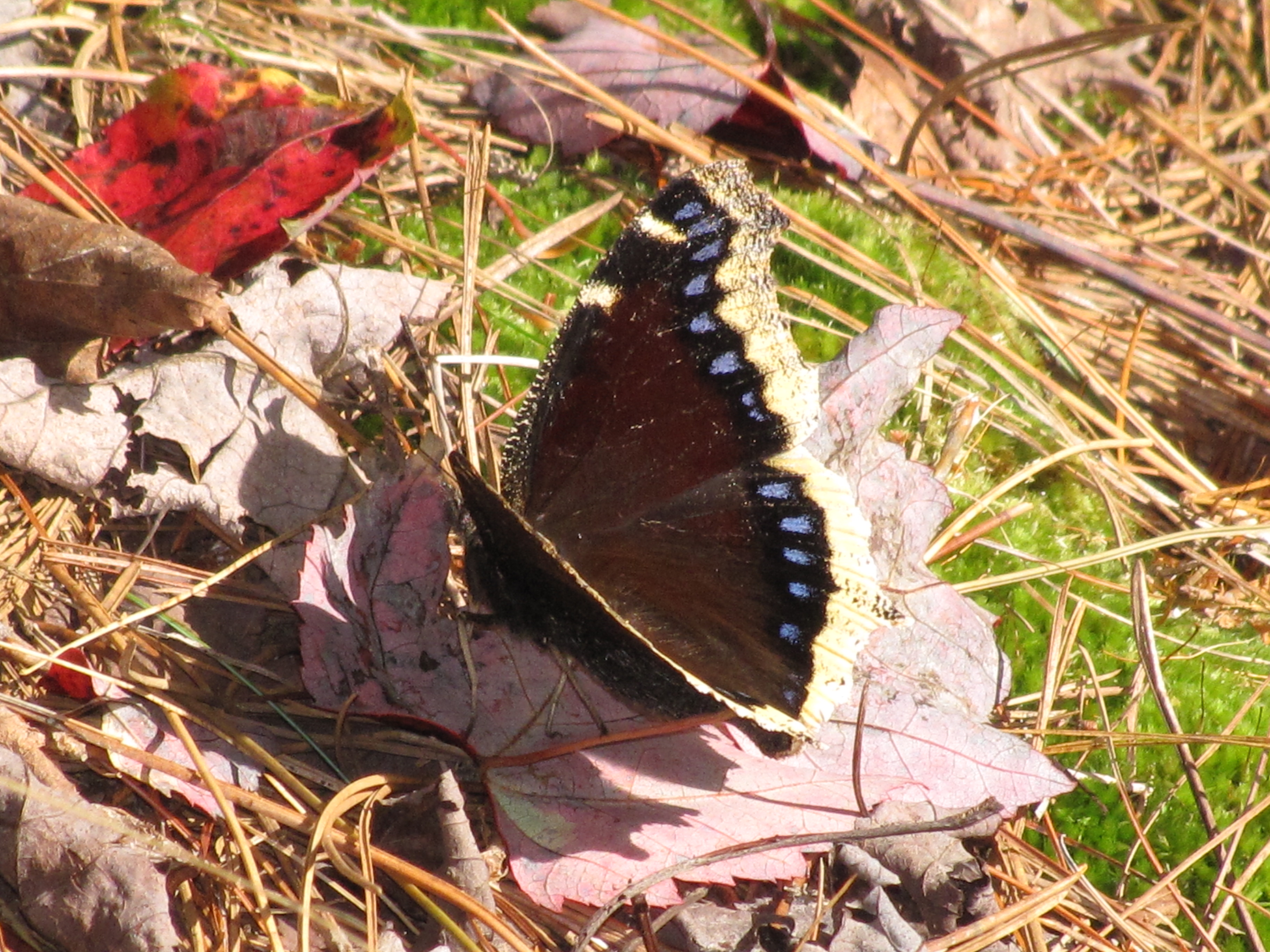 Mourning cloak can be observed at Paynes Prairie Preserve State Park, Little Talbot Island State Park and Big Talbot Island State Park.