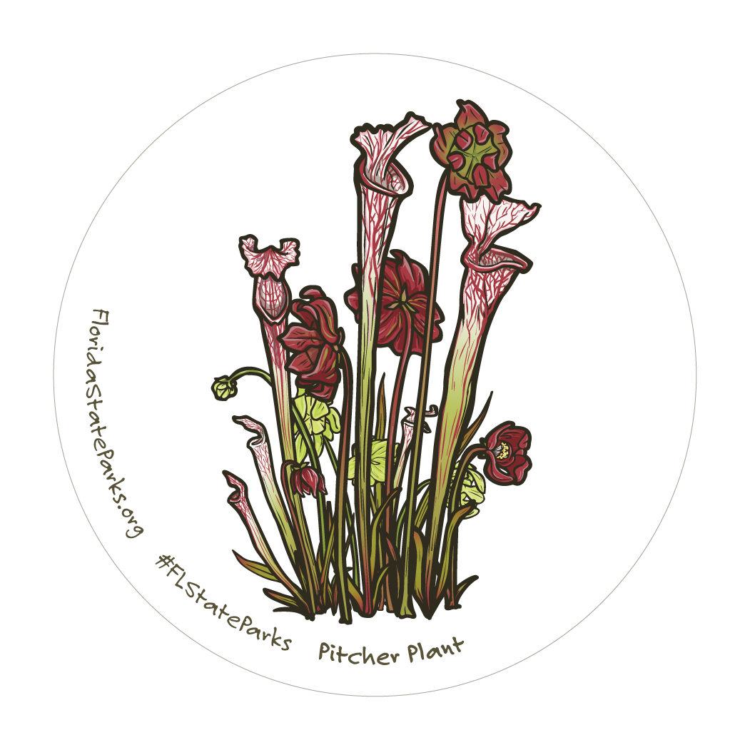 White-top Pitcher Plant