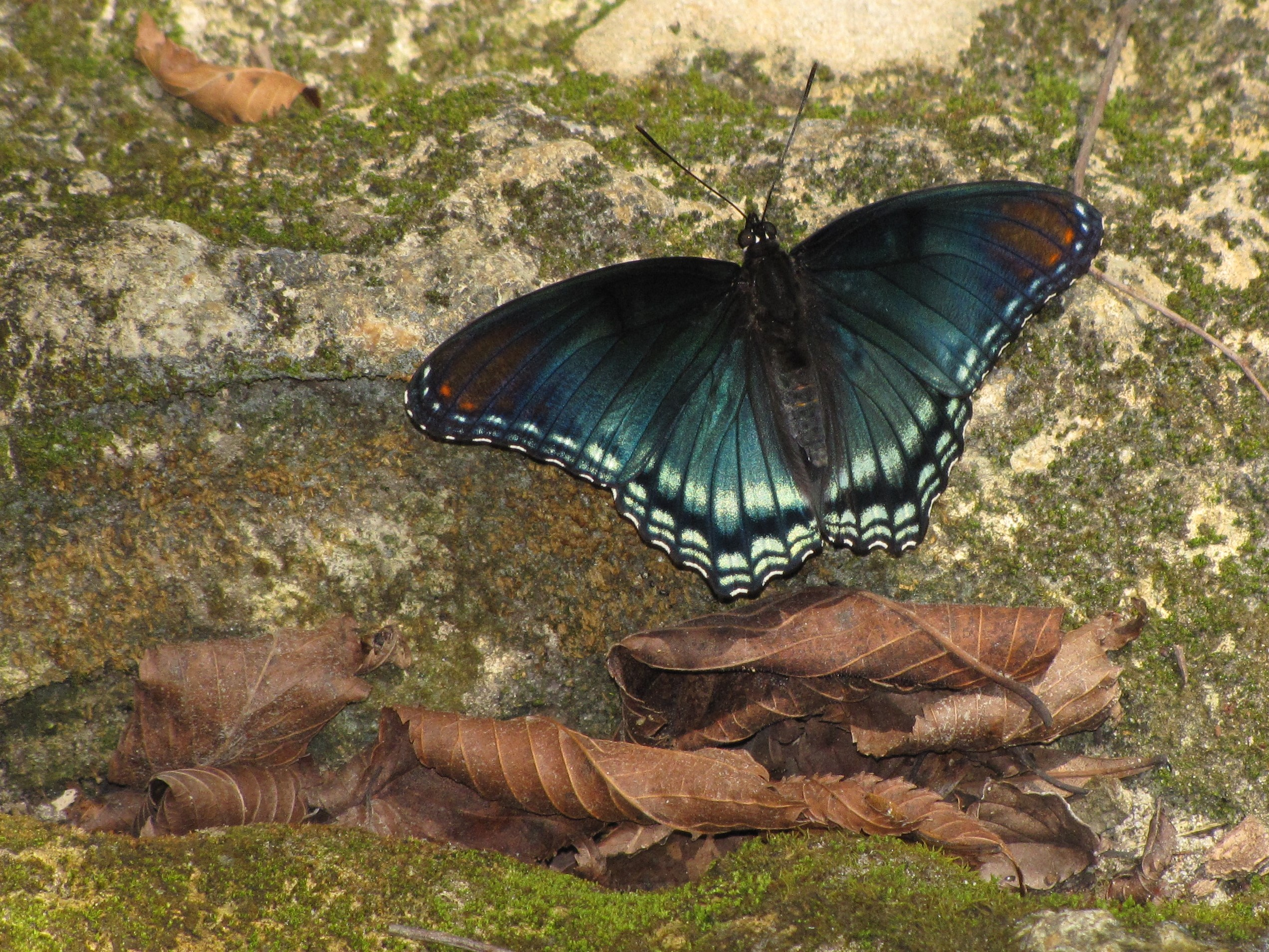 Red spotted purple (Limenitis arthemis) on a limestone rock   at Suwannee River State Park.