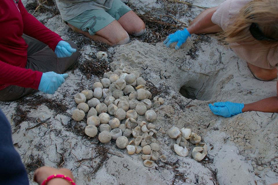 Turtle excavation team conducting an inventory on a recently hatched nest.