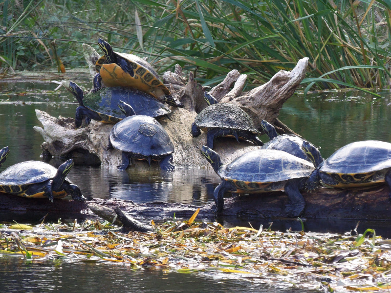 Nine turtles are seen grouped on a log in the Ichetucknee River.