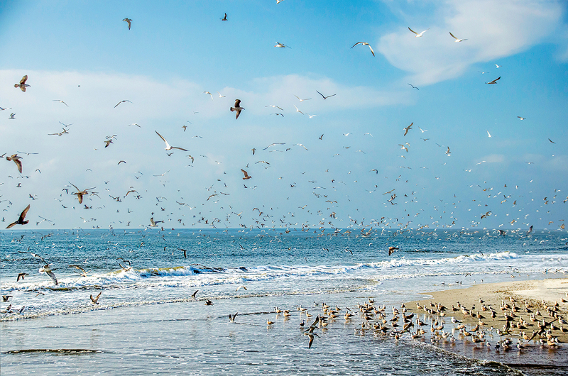thousands of birds take flight while others wade in the surf at fort clinch state park.