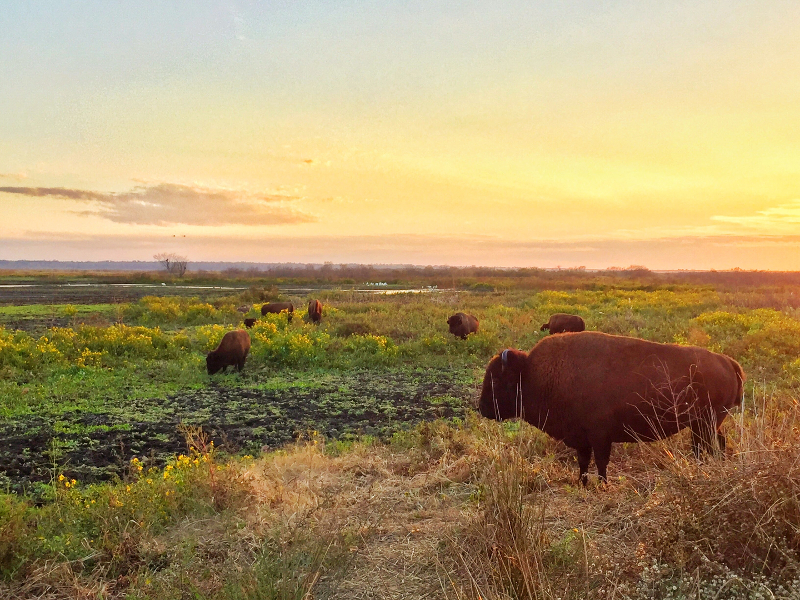 Image of bison grazing at sunset at paynes prairie preserve state park.