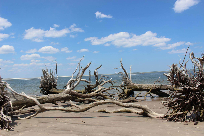 two dead trees lie on a beach