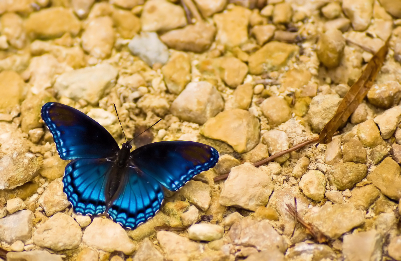 a bright blue butterfly contrasts sharply against yellow rocks on the ground.
