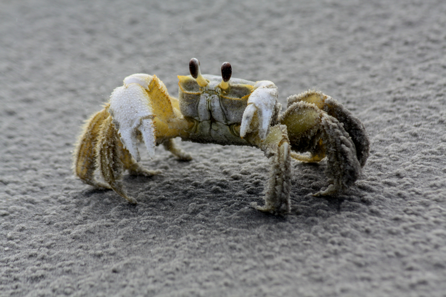 Image of a sandy ghost crab in the beach at Little Talbot Island State Park.