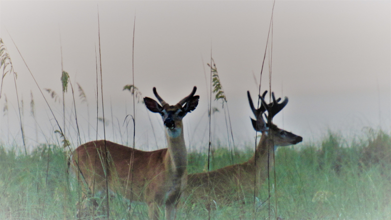 two male deer, still in velvet, stand outlined against sea oats on the beach.