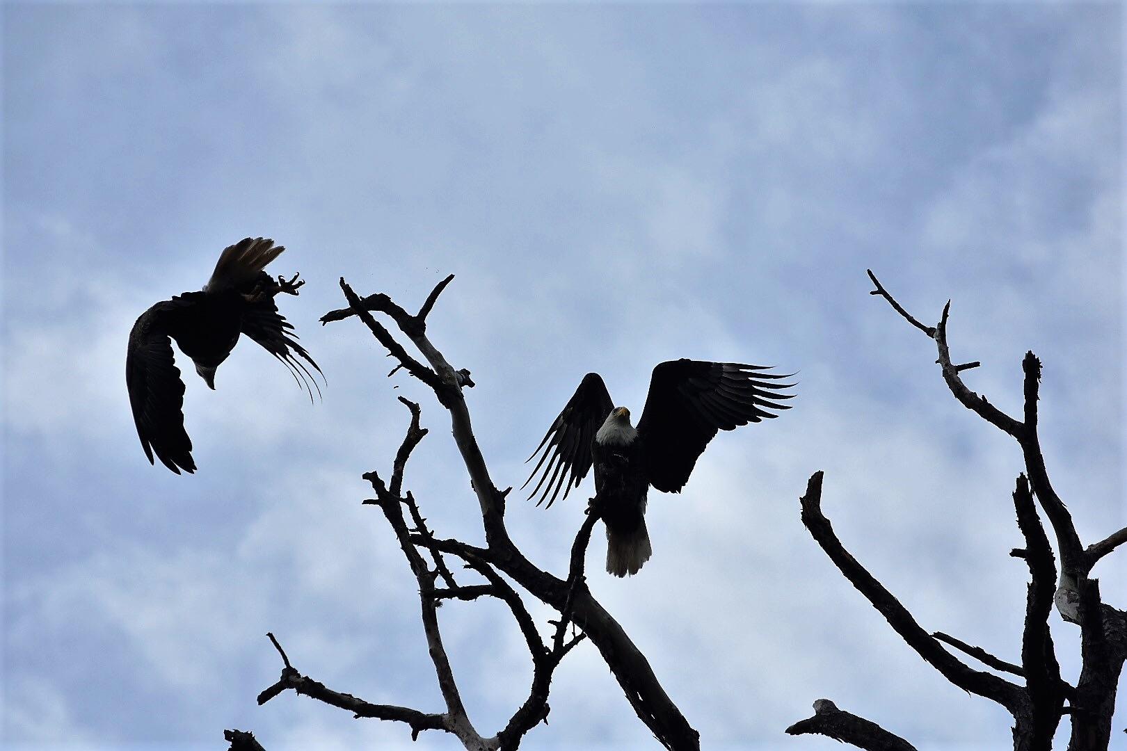 Two bald eagles on branches of a tree one is flying away