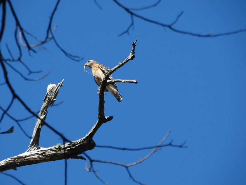 A red hawk sits on a tree branch, a tiny lizard in it's beak