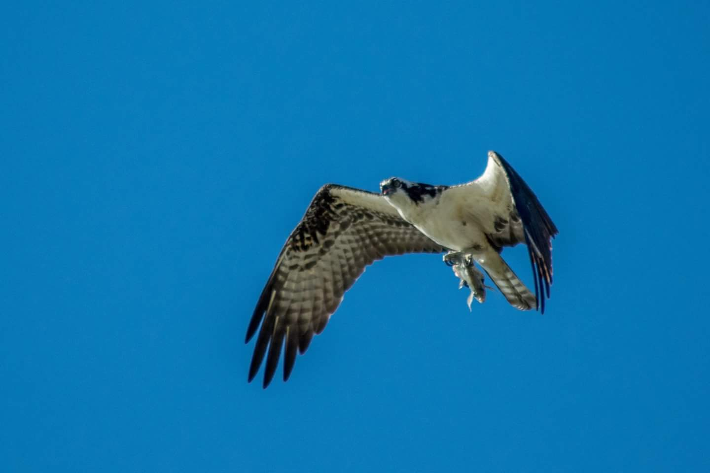 An osprey flies through a blue sky with a fish in it's talons