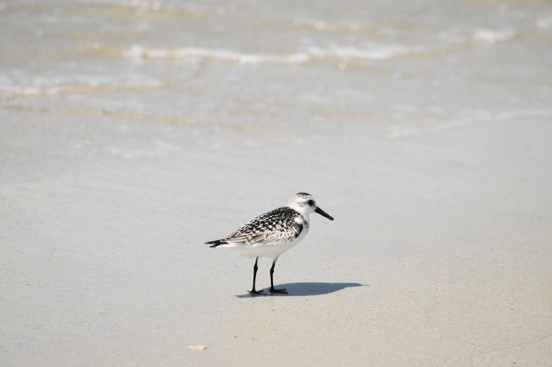 a small white and gray shore bird walks on the sand above the surf line on a beach