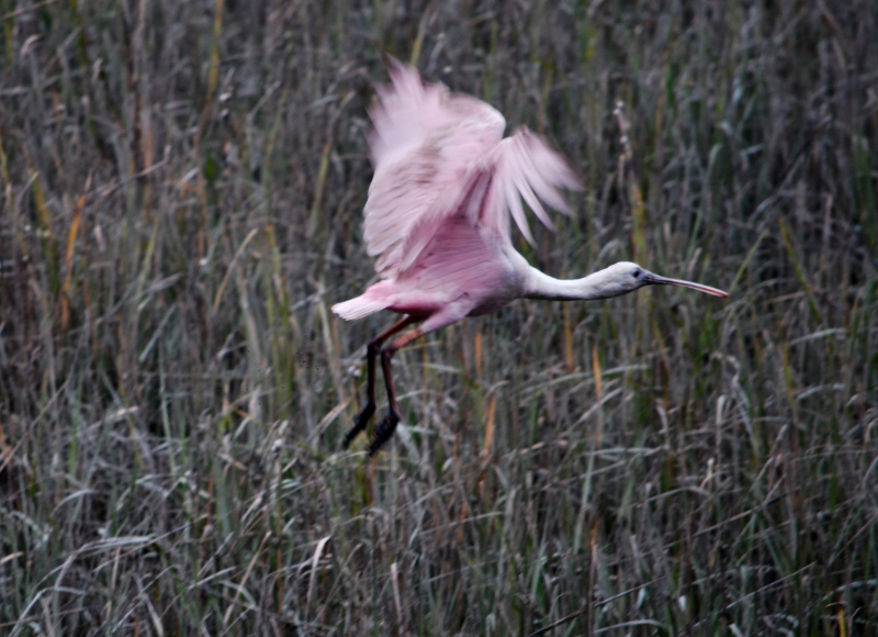 a pink bird takes flight out of a marsh