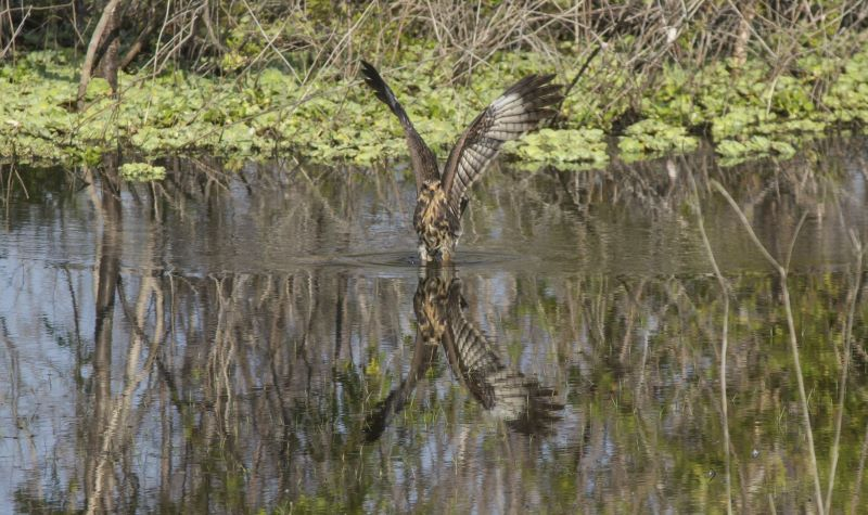 A snail Kite lands in the water of a green marsh