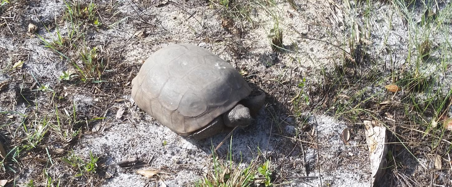 A view of a gopher tortoise.