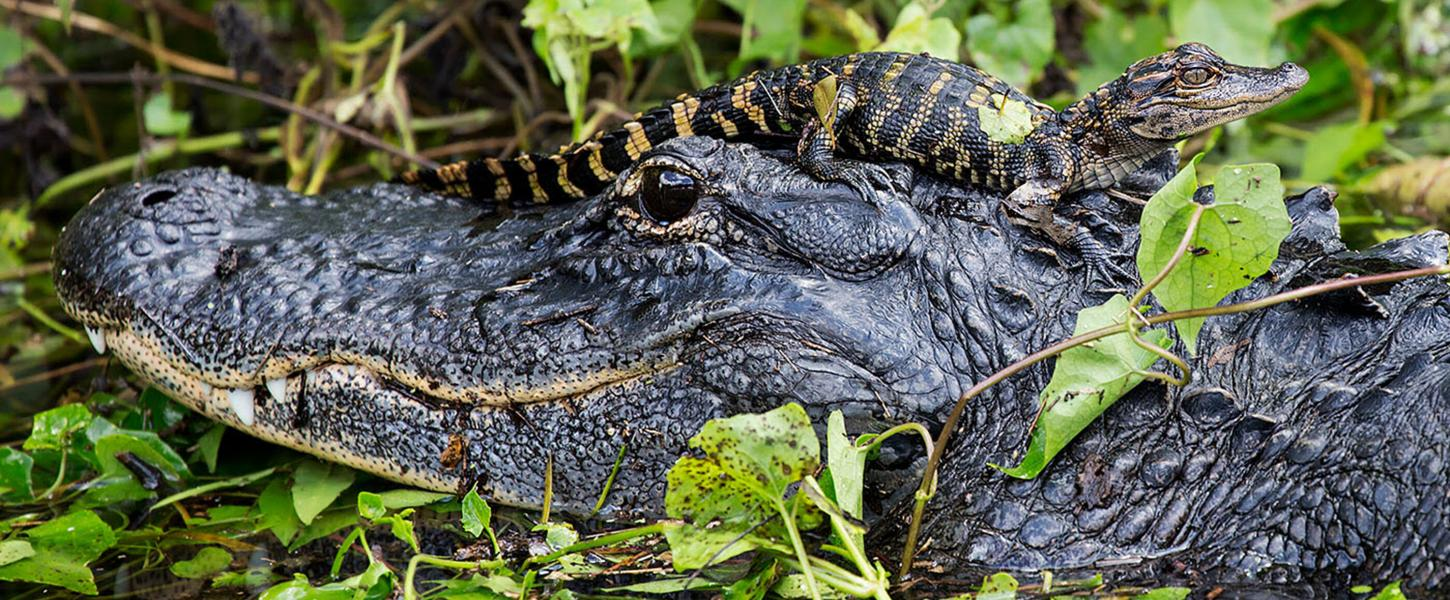 Mother and Baby Alligator