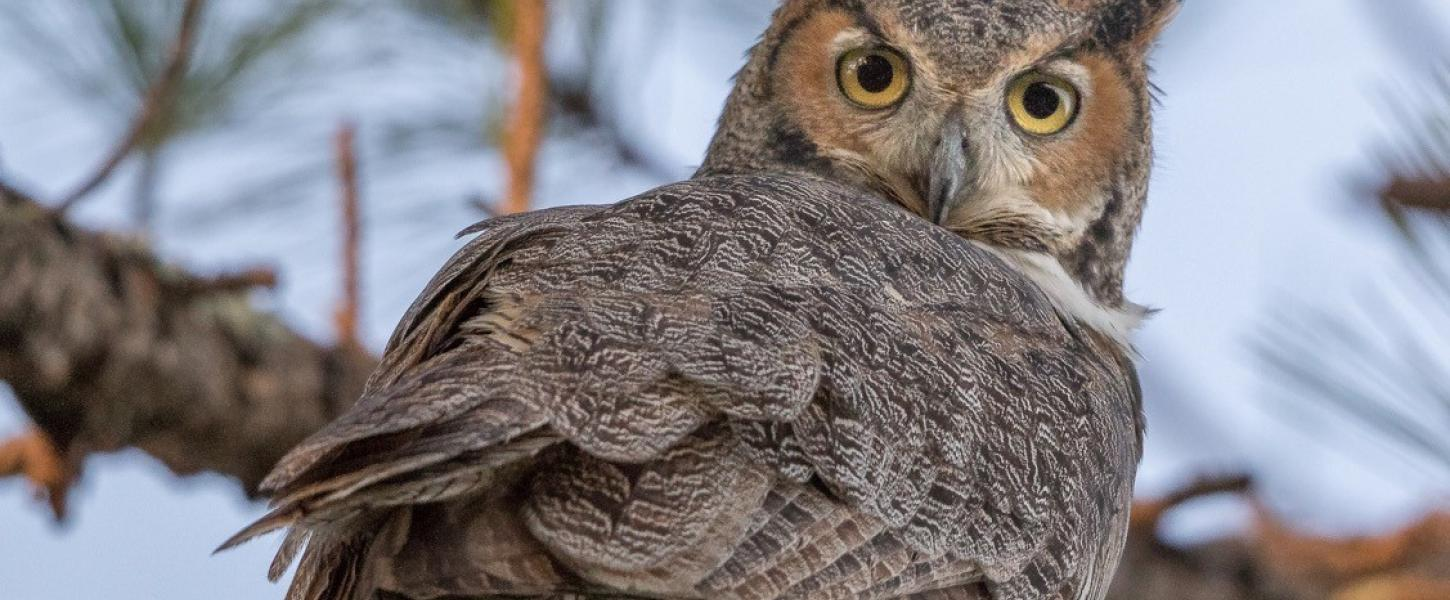 Great Horned Owl on a tree branch staring at the camera