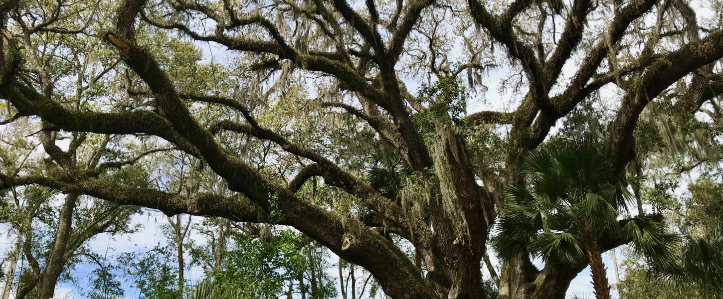 Mammoth Live Oak at Lake Griffin