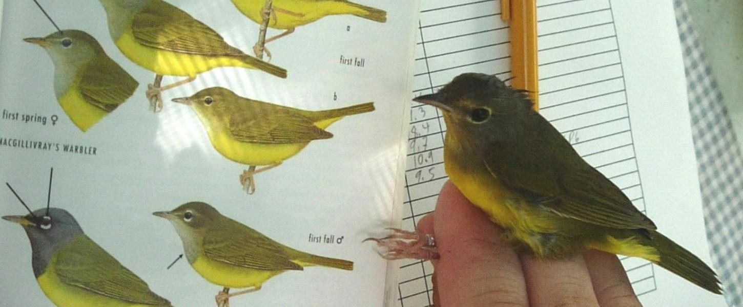 Mourning warbler in the hand.