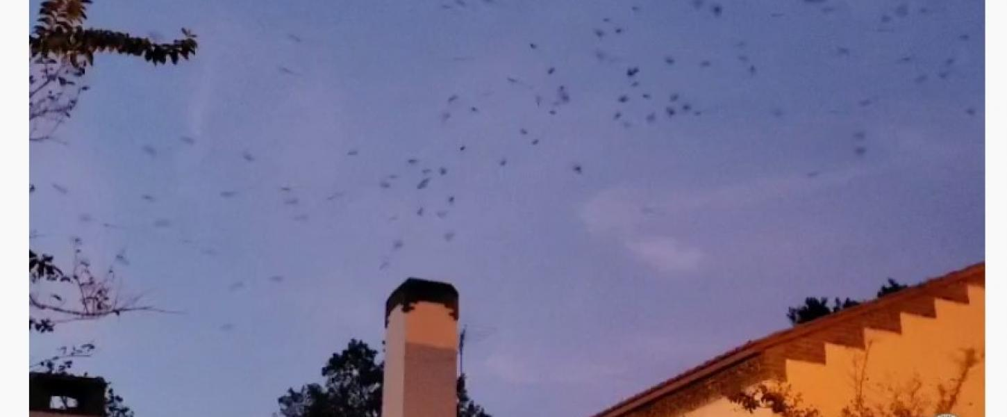VIDEO: Chimney swifts circle before entering the chimney to roost.