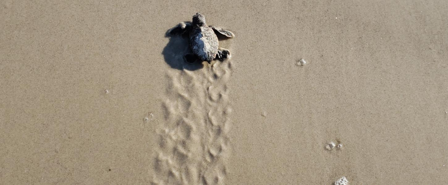 Image of a baby sea turtle crawling through the sand