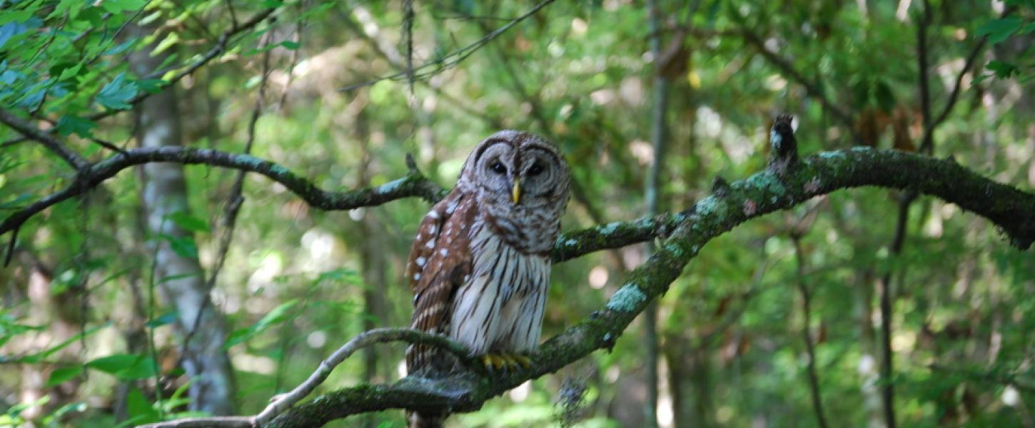 A barred owl is seen parched in a tree.