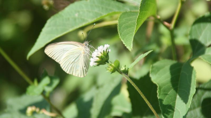Yellow butterfly on a white flower with green leaves surrounding it
