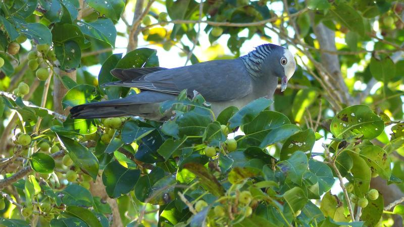 White Crowned Pigeon in a Short leaf fig tree.