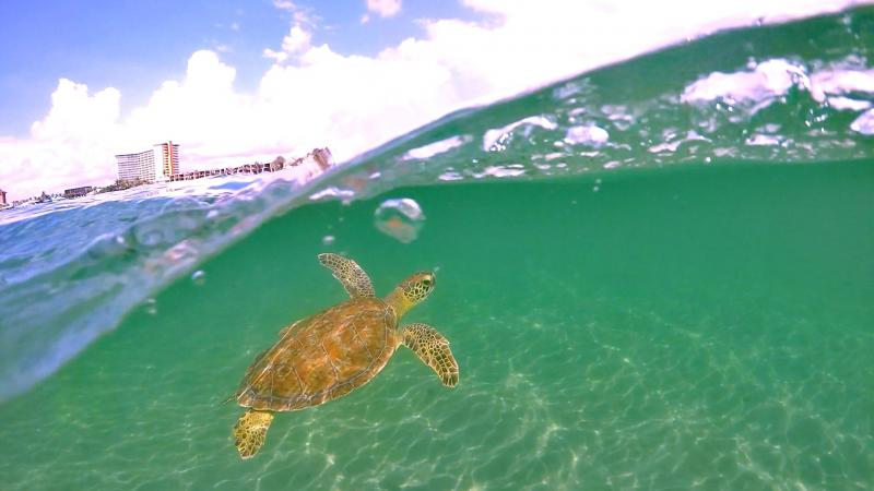 A green sea turtle swims underwater at John D MacArthur Beach State Park