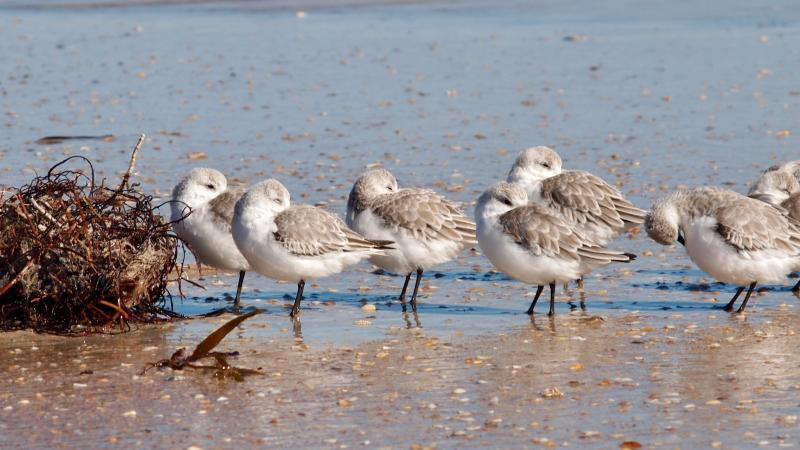 Sandpipers on the shore