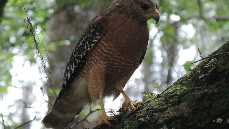 Red-shouldered Hawk perched on an oak tree branch