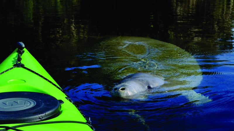 Manatee close to Kayak