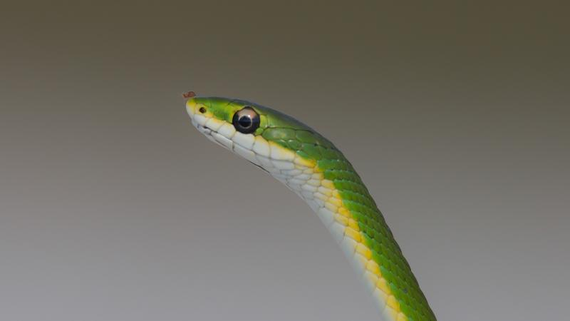 A rough green snake at Kissimmee Prairie Preserve State Park.
