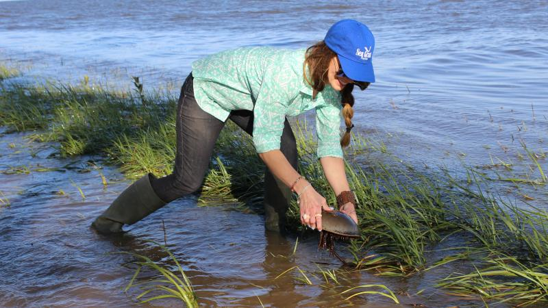 A researcher holds a horseshoe crab above the water. Photo courtesy Florida Sea Grant.